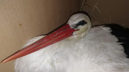 Átesett a műtéten a Kilenclyukú hídon elütött gólya
