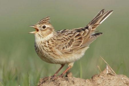 A hét madárdala: Mezei pacsirta - 2020.08.10