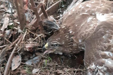 Újabb, szabálytalanul kihelyezett csapda fogott védett madarat.