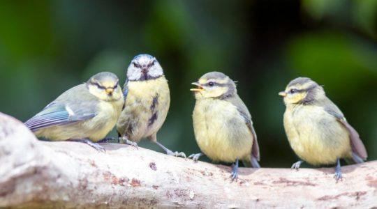 A madárdal jó hatással van a közérzetre
