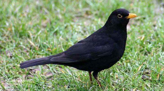 A hét madárdala: A fekete rigó - 2020.01.20