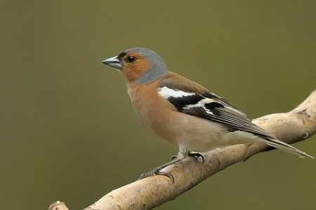 A hét madárdala: Az erdei pinty - 2020.02.03