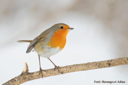 A hét madárdala: Vörösbegy - 2020.01.27
