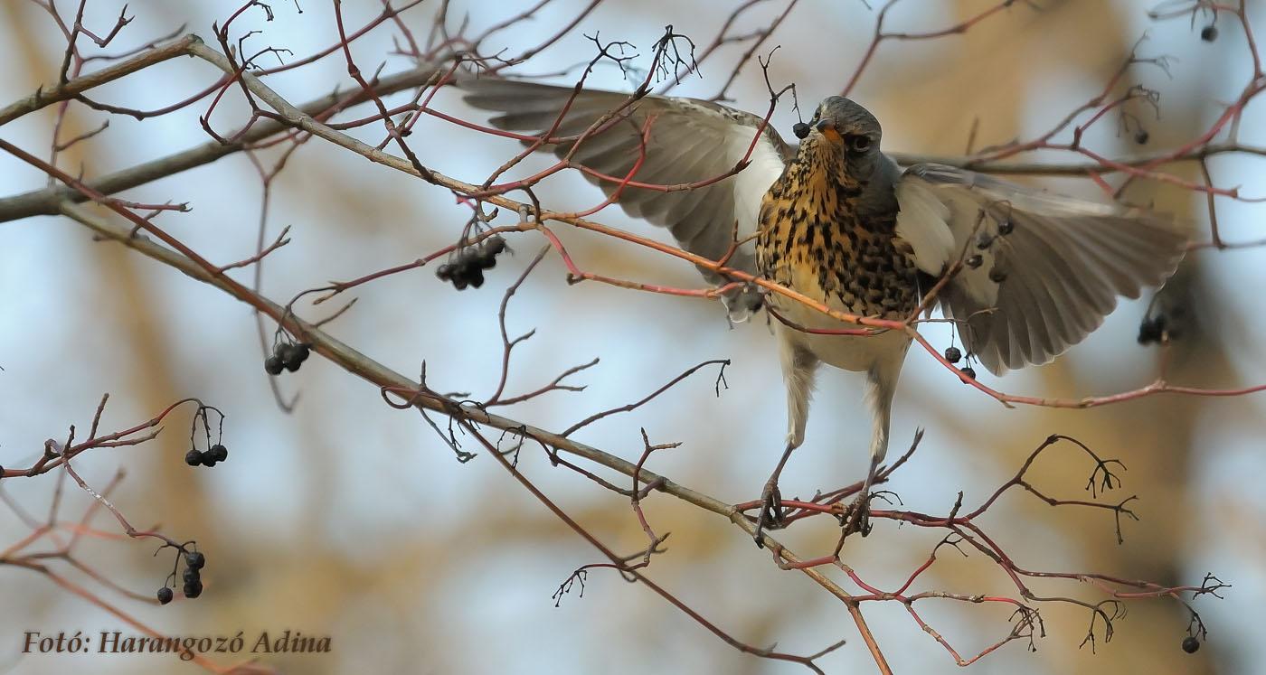 A hét madárdala: Fenyőrigó - 2020.02.10
