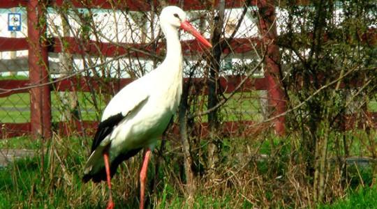 Fehér gólya - 819
