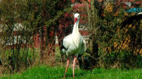 Fehér gólya - 1381
