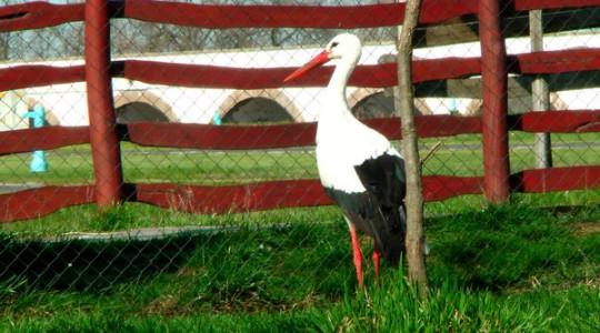 Fehér gólya - 1761