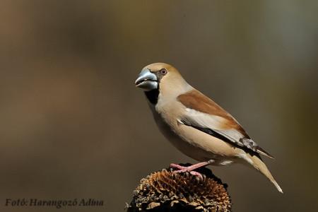 A hét madárdala: Meggyvágó - 2014.03.10