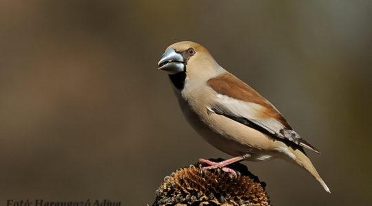 A hét madárdala: Meggyvágó - 2020.03.09