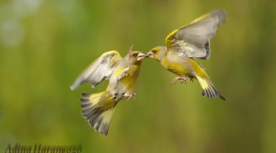 A hét madárdala: Zöldike - 2020.03.16
