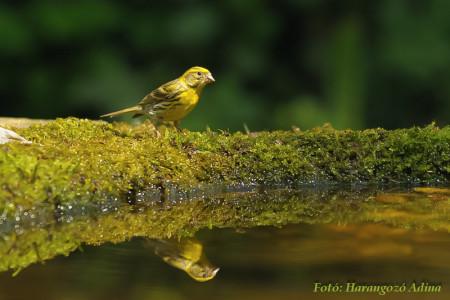 A hét madársala: Csicsörke - 2014.04.21
