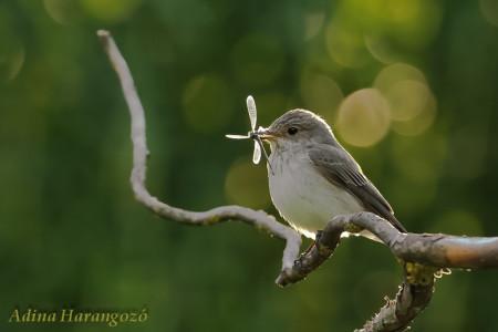 A hét madárdala: Szürke légykapó - 2014.04.28