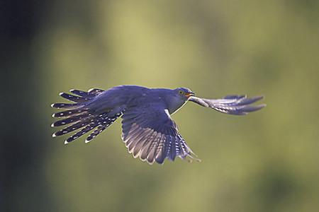 A hét madárdala: Kakukk - 2014.05.26