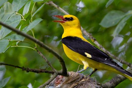 A hét madárdala: Sárgarigó - 2020.05.04