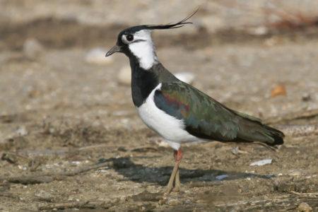 A hét madárdala: Bíbic - 2020.05.11