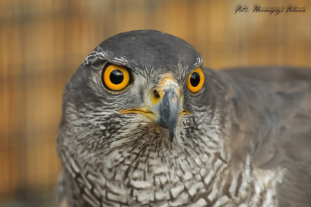 A hét madárdala: Héja - 2014.06.02