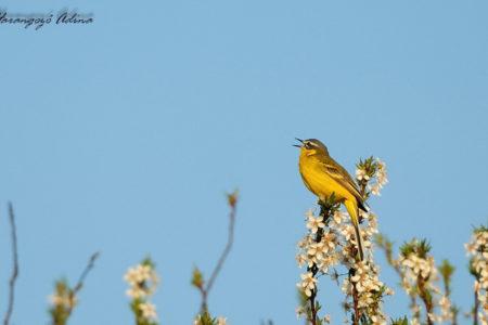 A hét madárdala: Sárga billegető - 2020.07.06