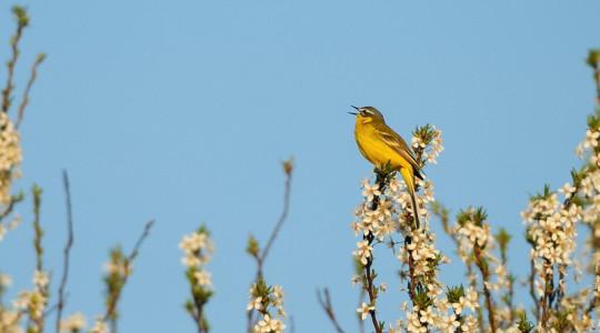 A hét madárdala: Sárga billegető - 2014.07.07