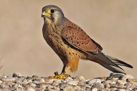 A hét madárdala: Vörös vércse - 2014.07.28