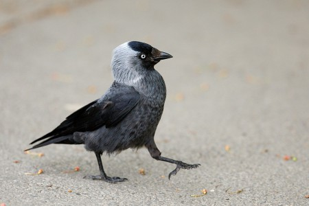 A hét madárdala: Csóka - 2014.09.08