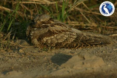 A hét madárdala: Európai lappantyú - 2014.09.22