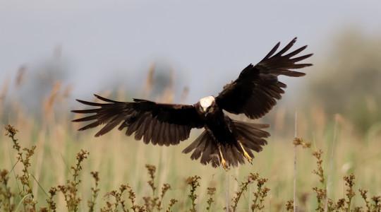 A hét madárdala: Barna rétihéja - 2014.09.29