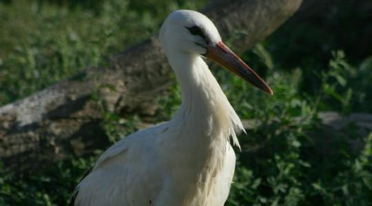 Fehér gólya - 3445