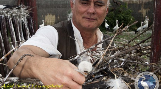 Pünkösdi gólyafiókák