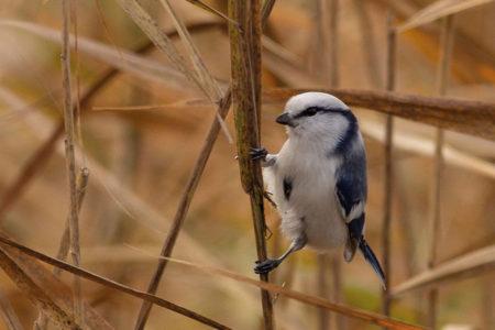 Új madárfaj Magyarországon - Lazúrcinege a szegedi Fehér-tavon