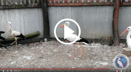 Hogy készítsünk műlábat egy fehér gólyának?