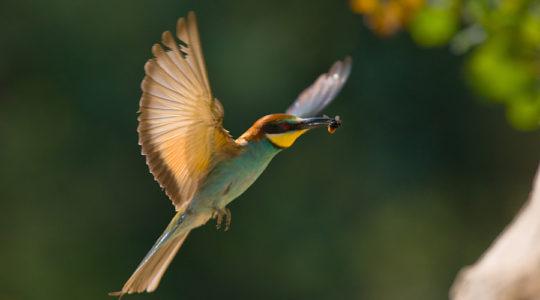 A hét madárdala: Gyurgyalag - 2020.08.17