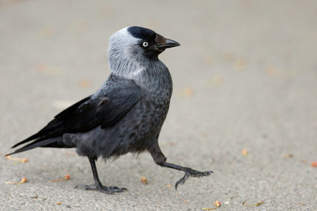 A hét madárdala: Csóka - 2020.09.07