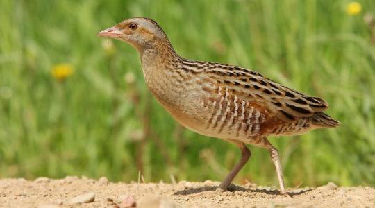 A hét madárdala: Haris - 2020.09.14