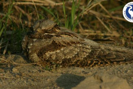 A hét madárdala: Európai lappantyú – 2020.09.21