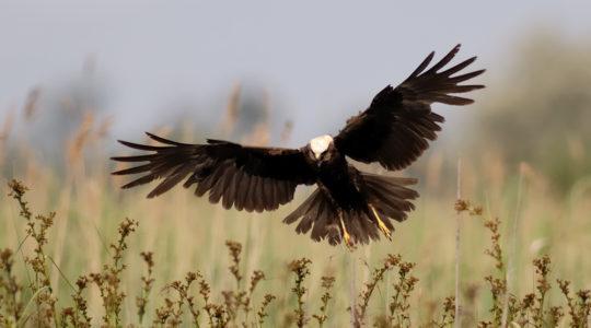 A hét madárdala: Barna rétihéja – 2020.09.28