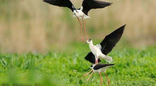 A hét madárdala: Gólyatöcs - 2020.08.31